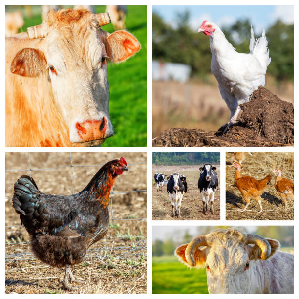 Different animals and poultry